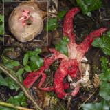 paddenstoelen en andere schimmels - Fungi