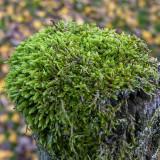 Land- en Korstmossen - Mosses and Lichens