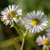 GALLERY WILDE BLOEMEN KLEURGROEP WIT – wild flowers white – Plantes sauvages à fleurs blanches