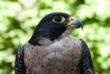 GALLERY roof- of stootvogels en uilen