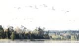 Migrating swans in fog copy.jpg