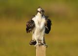 Vultures, Diurnal Raptors, Falcons