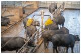 Buffalos getting massage