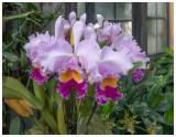 Orchid - Cattleya trianae