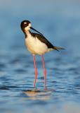 Hawaiian Black-necked Stilt