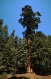 Sequoia NP3.jpg