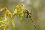 Smaragdlibel -Cordulia aenea