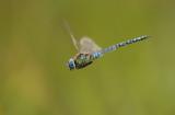 Zuidelijke glazenmaker - Aeshna affinis