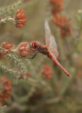 Zwervende heidelibel - Sympetrum fonscolombi