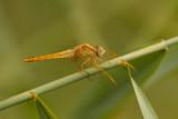 Vuurlibel - Crocothemis erythraea