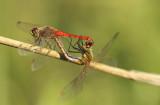 Kempense heidelibel - Sympetrum depressiusculum