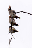 Pestvogels - Bombycilla garrulus