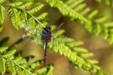 Venwitsnuitlibel - Leucorrhinia dubia