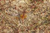 Geelvlekheidelibel - Sympetrum flaveolum