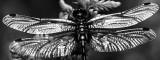 Venwitsnuitlibel zwart wit