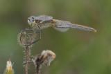 Zwervende heidelibel