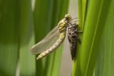 Beekrombout - Gomphus vulgatissimus ♀