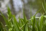Beekrombout - Gomphus vulgatissimus