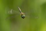 Gevlekte glanslibel - Somatochlora flavomaculata