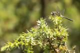 Oostelijke witsnuitlibel - Leucorrhinia albifrons