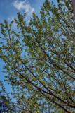 Apple tree blooming  IMG_1958.jpg