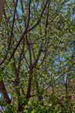 Apple tree blooming! Spring!  IMG_1967.jpg