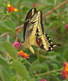 Papilio Catamayo