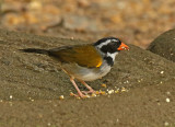 Orange-billed Sparrow