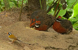 Rufous-fronted Wood-Quail