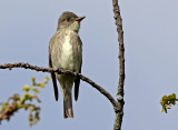 Olive-sided-Flycatcher.jpg