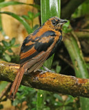 Tanagers-Others