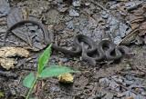 Snake Paz2