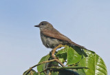Crowned Slaty-Flycatcher