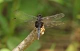 Dragonfly Tiputini