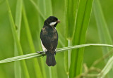 Lesson's Seedeater
