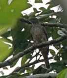 Plum-throated Cotinga