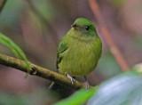 Green Manakin