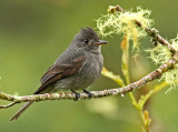 Smoke-colored Pewee