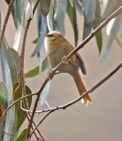 Creamy-creasted Spinetail