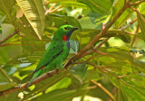 Orange-eared Tanager