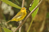 Rust-and-yellow Tanager