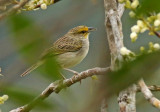 Yellow-browed Sparrow