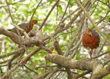 Rufous-necked Wood-Rail