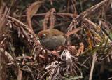 Eye-ringed Thistletail