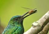 Kingfishers and Jacamars