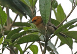 Brown-flanked Tanager