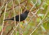 Glossy-black Thrush
