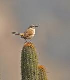 Cactus Canastero
