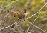 Chao Spinetail
