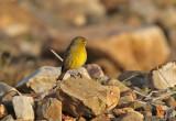 Greenish Yellow-Finch